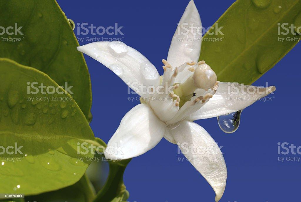 Orange Blossom Special on Blue stock photo