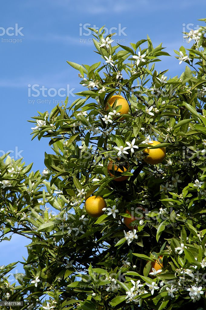 Orange Blossoms 5 stock photo