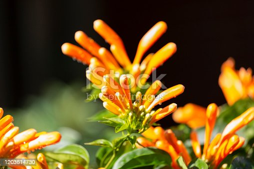 Orange blossoms of Trumpet Vine flowers, beautiful nature background with copy space, full frame horizontal composition