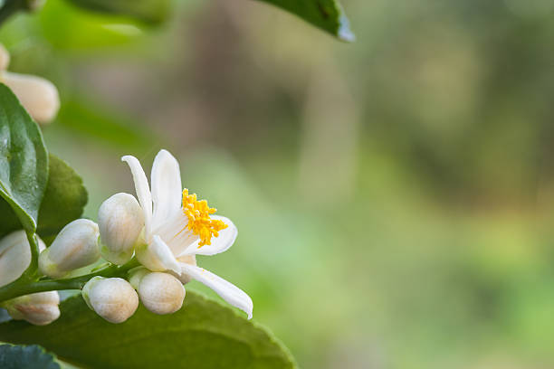 Orange blossoms on a tree stock photo