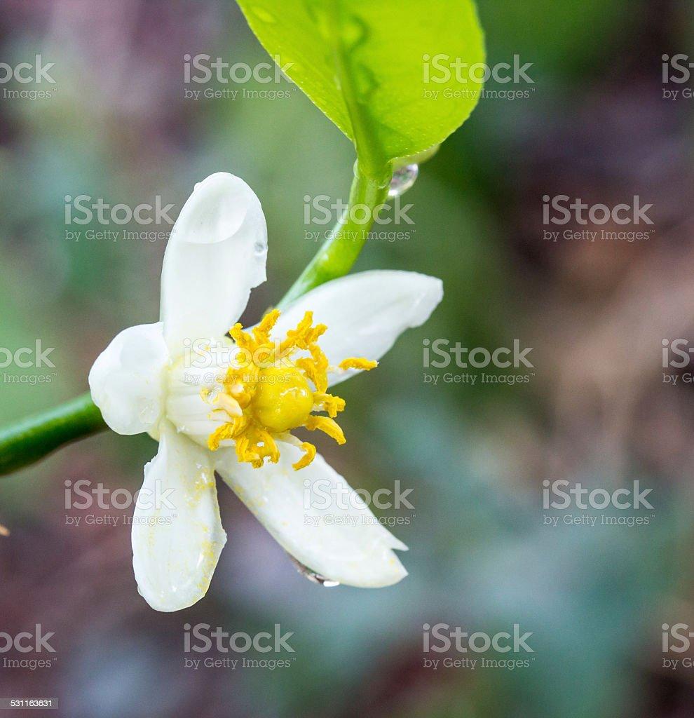 Orange blossoms on branch stock photo