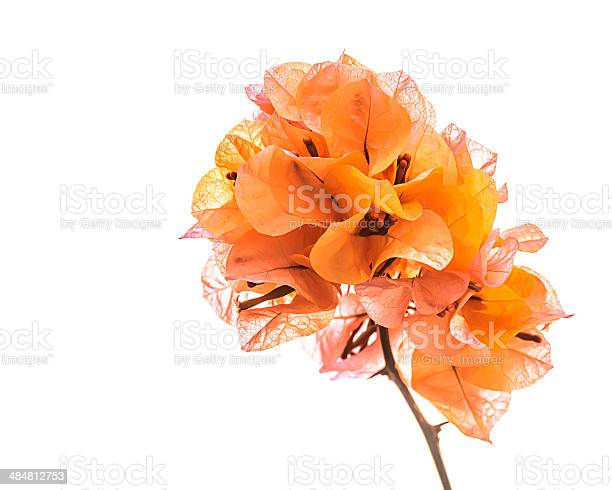 Orange bougainvillea isolated picture id484812753?b=1&k=6&m=484812753&s=612x612&h=d1yvjl2 i0votjntmdmw7tefheoeny0flm a8bojsl8=