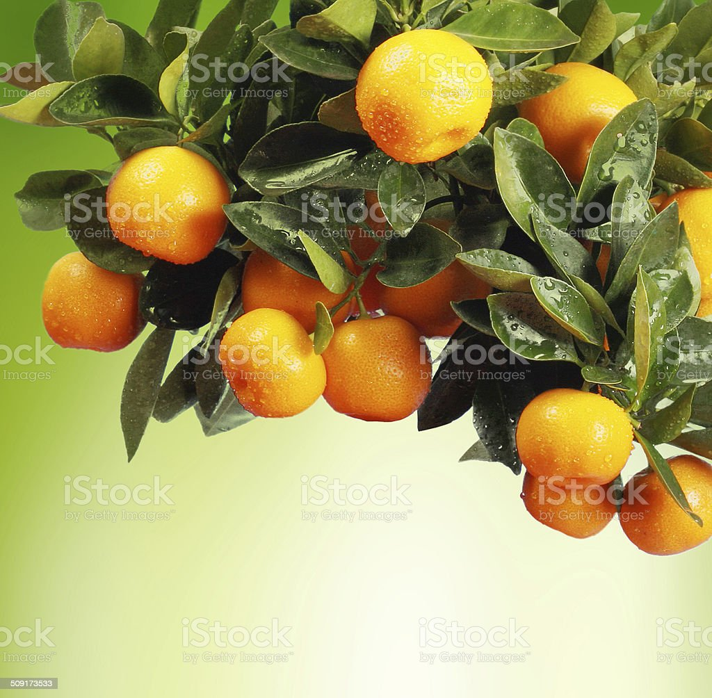 Orange branch stock photo