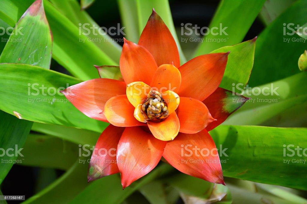 Orange bromeliad in the garden. stock photo