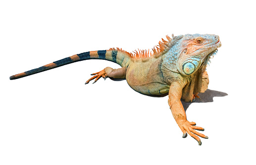 Colorful brown and blue male iguana isolated with its shadow on white background. Gorgeous animal has crest of spines running from the base of the neck to the end of long black ringed tail. Copy space