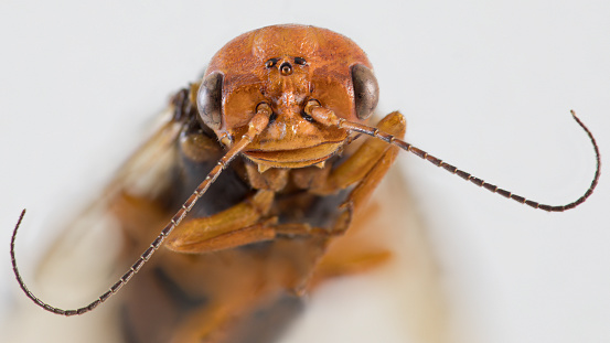 Extreme closeup front view of sawfly pine tree pest