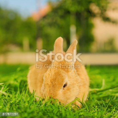 istock Orange bunnie eating grass in backyard - square composition 517872231