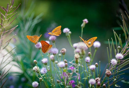 Orange butterflies drinking nectar on a green floral backgroung