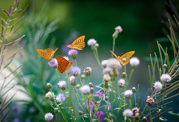 orange butterflies drinking nectar on a green floral backgroung - bestuiving stockfoto's en -beelden