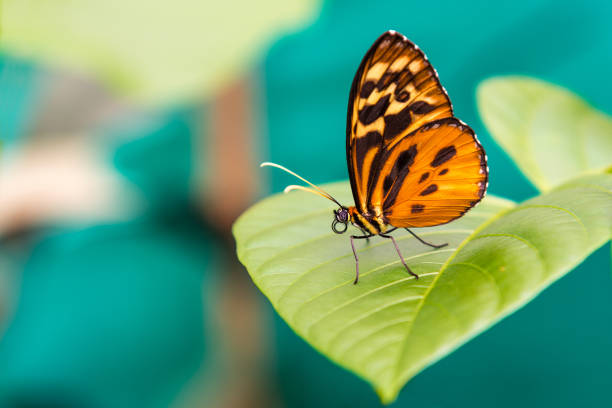 주황색 나비 클로즈업 - 나비 뉴스 사진 이미지