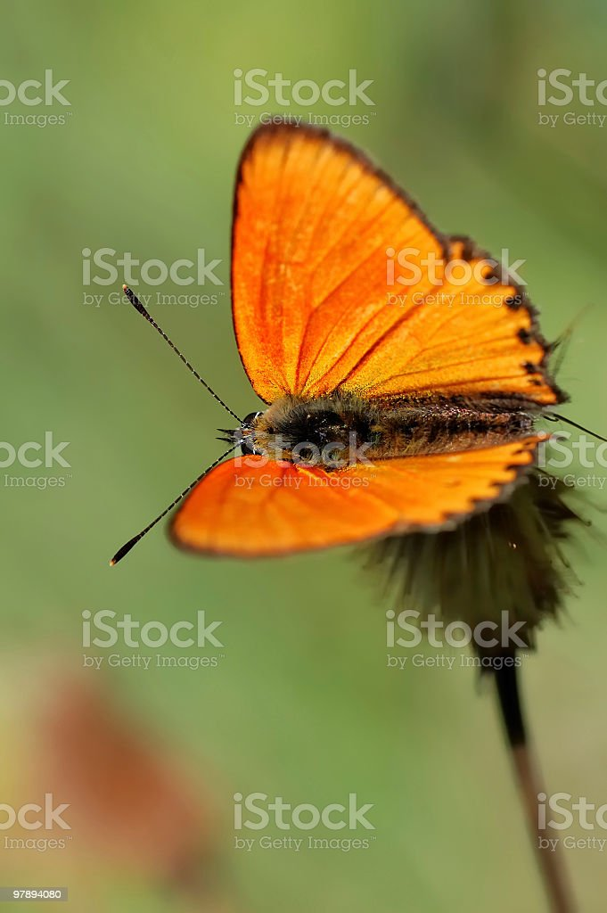 Orange butterfly [Lycaena virgaurea] royalty-free stock photo