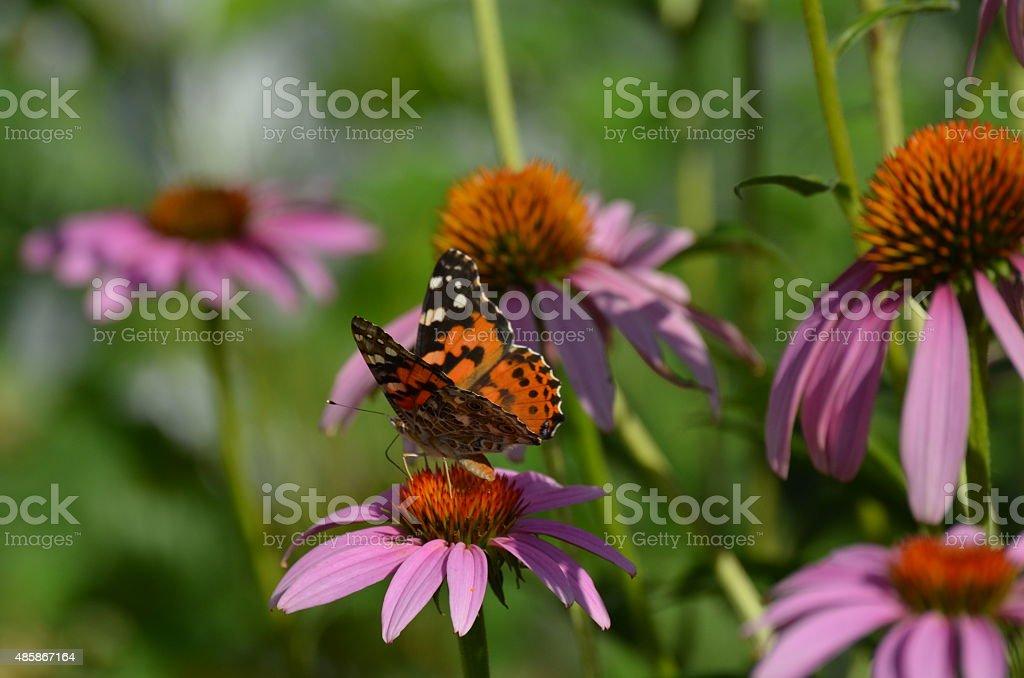 Orange butterfly on purple coneflowers stock photo