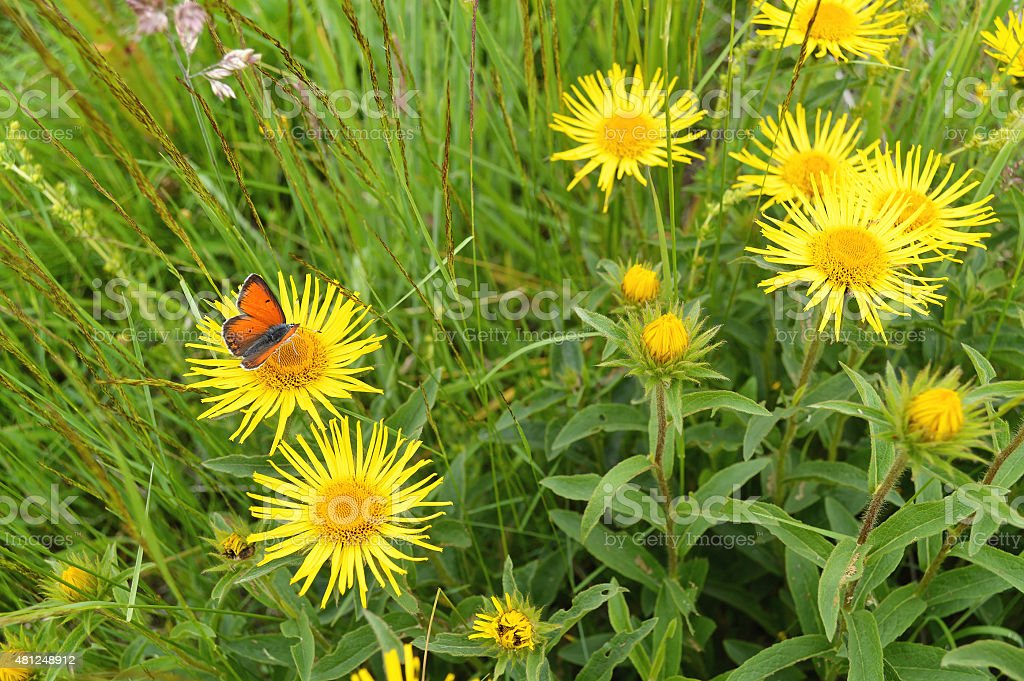 Orange butterfly on yellow blossom of Arnica Montana stock photo