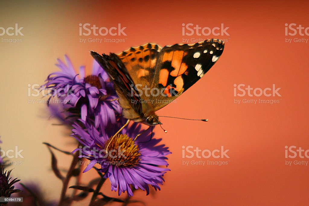 Orange butterfly royalty-free stock photo