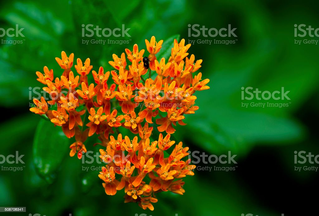 Orange Butterfly Weed in bloom. stock photo