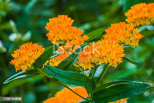 An orange form of milkweed, the Butterfly Weed also attracts butterflies with its orange color. (Asclepias tuberosa)