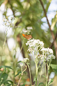 Orange Butterfly with a White butterfly bush.