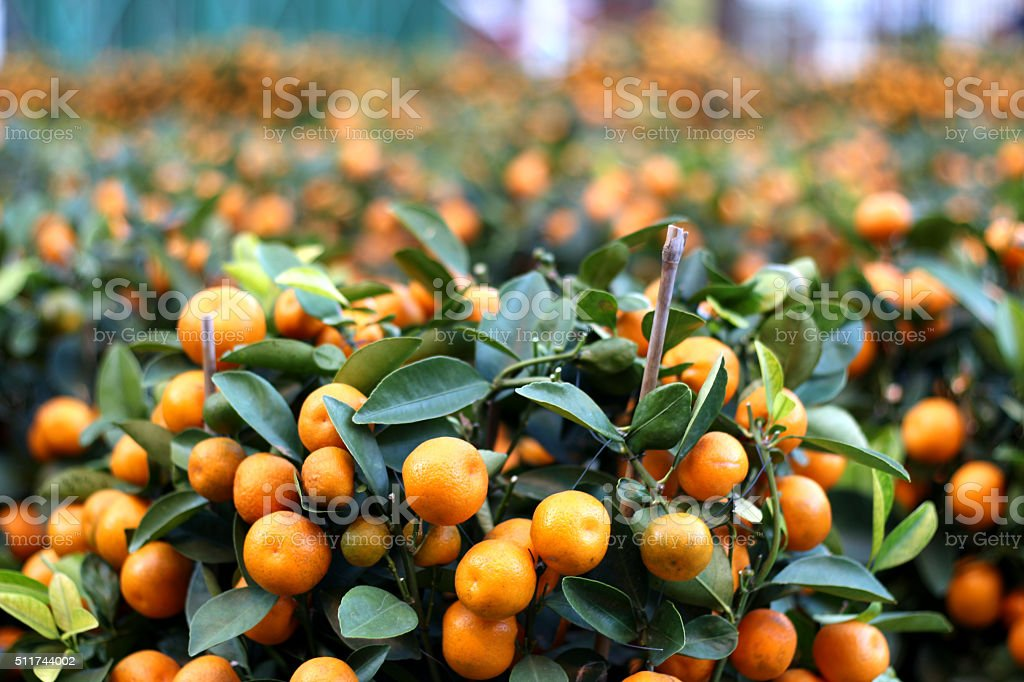 Orange Calamondins, Chinese New Year, Flower Market, Hong Kong stock photo