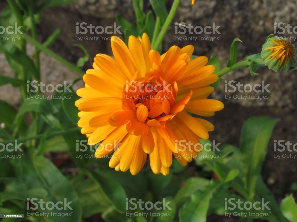 Orange calendula officinalis blossom close-up, a plant used in gastronomy and traditional medicine stock photo