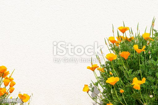 Orange California poppy flower grows near white wall. Close up, copy space.