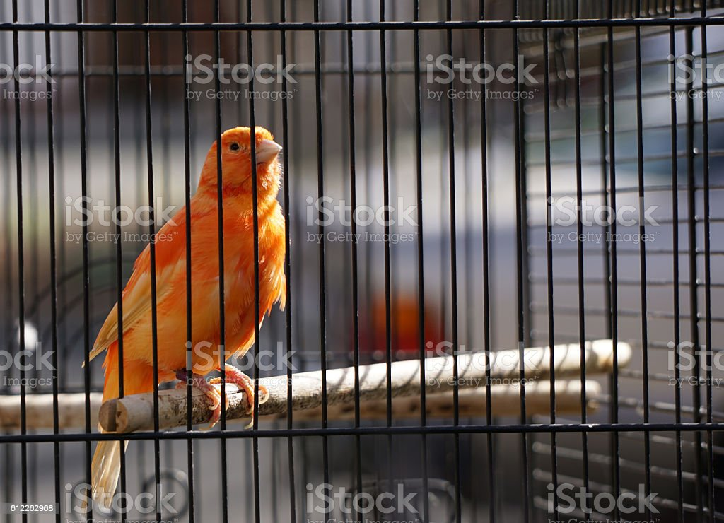 Orange canary in cage Orange canary in cage. Orange finch perched. Caged finch Canary Stock Photo