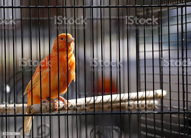 Orange Canary In Cage Stock Photo - Download Image Now