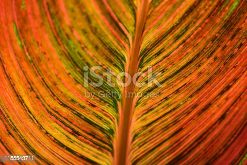 Close-up of the large leaf of the Canna Lily plant