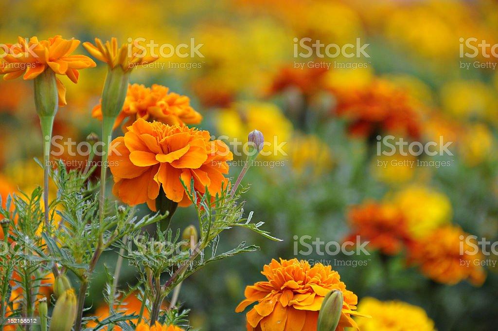Orange Carnation Garden royalty-free stock photo