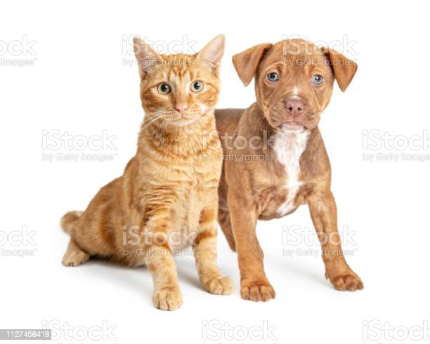 Orange cat and small brown dog together picture id1127456419?b=1&k=6&m=1127456419&s=612x612&h=lbnw01nwgef9kbm8pi9u6 27rgfwaoupizhbomzve i=