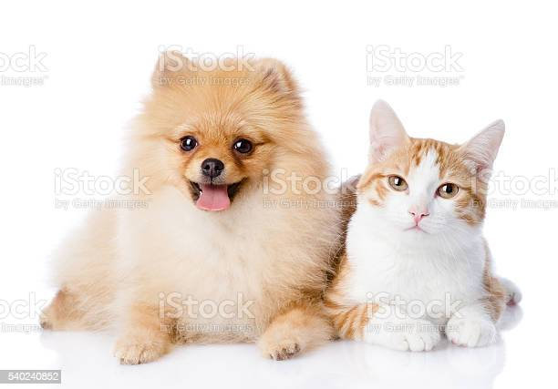 Orange cat and spitz dog together looking at camera picture id540240852?b=1&k=6&m=540240852&s=612x612&h=i7b1eahts  rlh3ddm5yjudulgi40190gfhf9ycq7so=