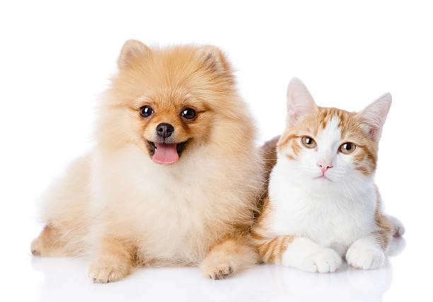 Orange cat and spitz dog together looking at camera picture id540240852?b=1&k=6&m=540240852&s=612x612&w=0&h=t k8npmveveb70kknxm azgtpfw7q vgkoy2gxpaszs=