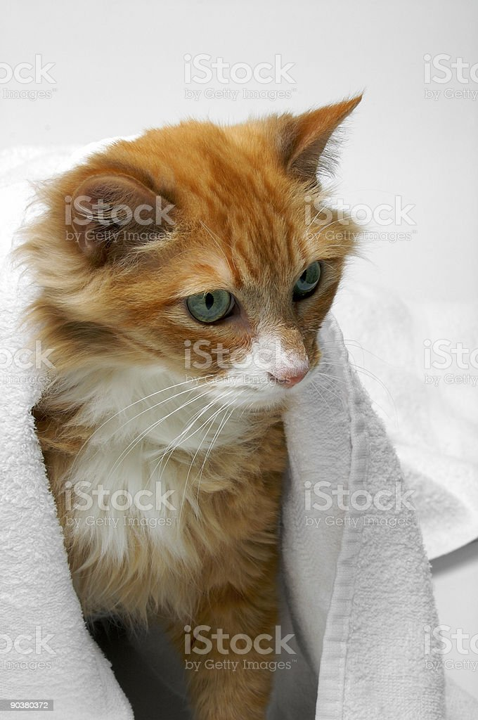 Orange cat hiding under towel (Blue 01) royalty-free stock photo