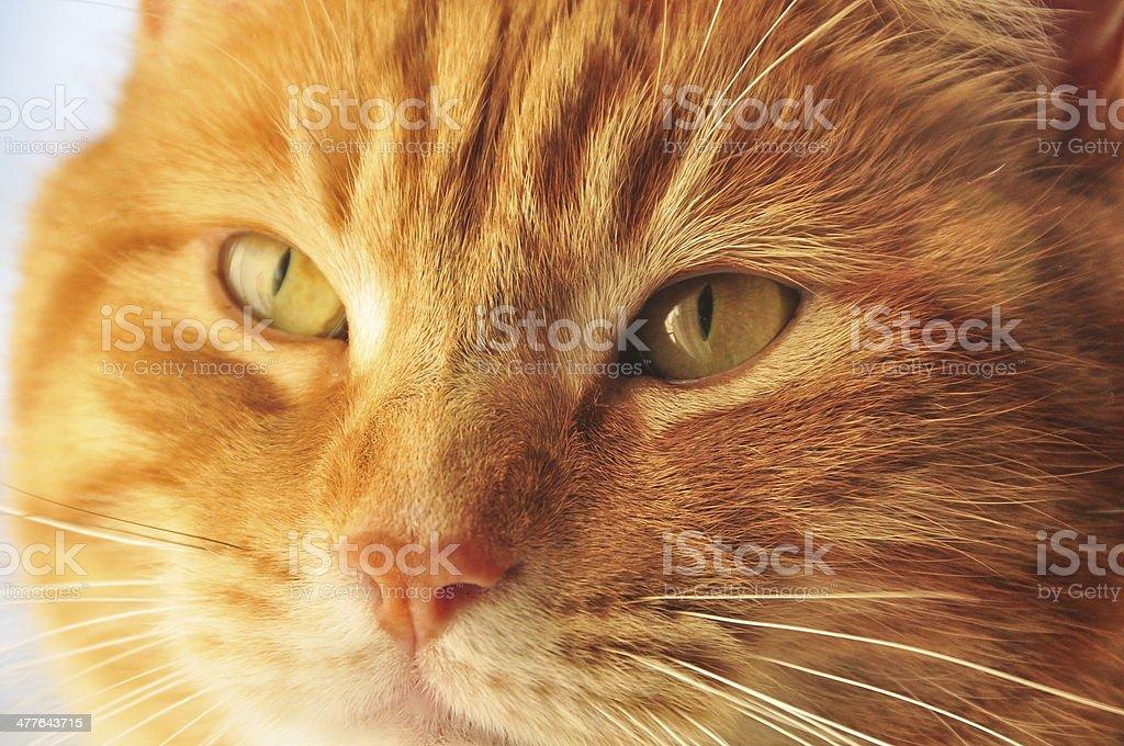 orange cat looking through window royalty-free stock photo