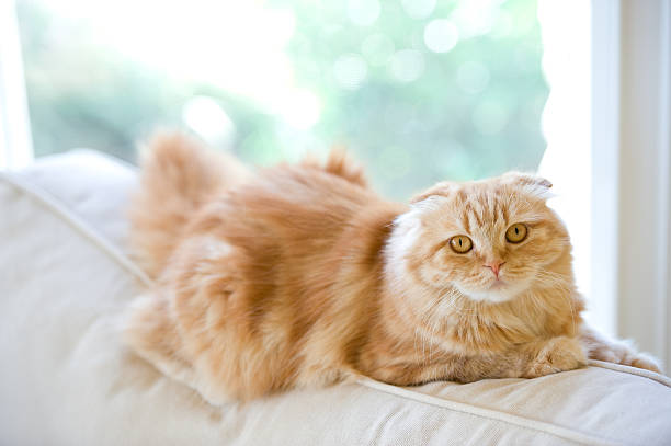 Orange cat on a white couch picture id455773679?b=1&k=6&m=455773679&s=612x612&w=0&h=be1i2dfz3oilw4hghm4bn 6qf nqzpd houlkyvbsne=