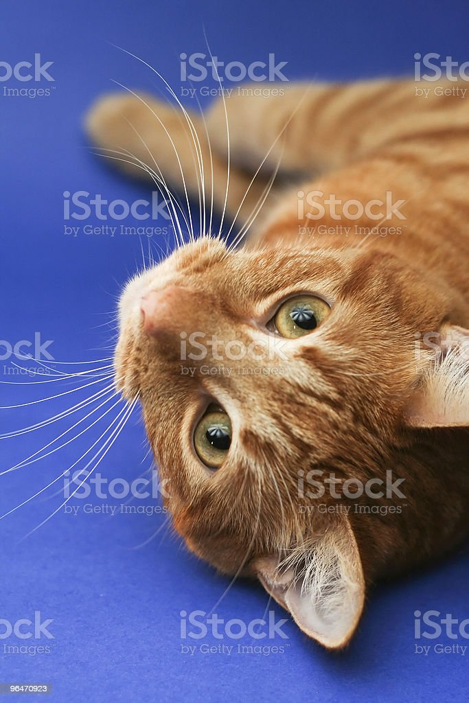 Orange Cat royalty-free stock photo