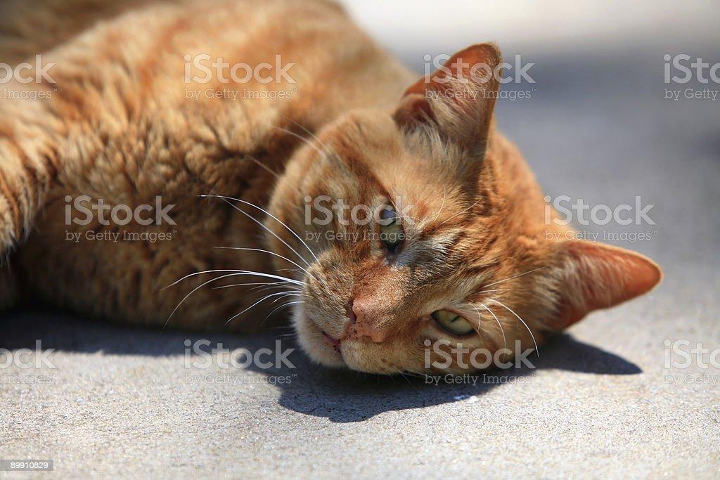 Orange Cat Sunning Himself royalty-free stock photo