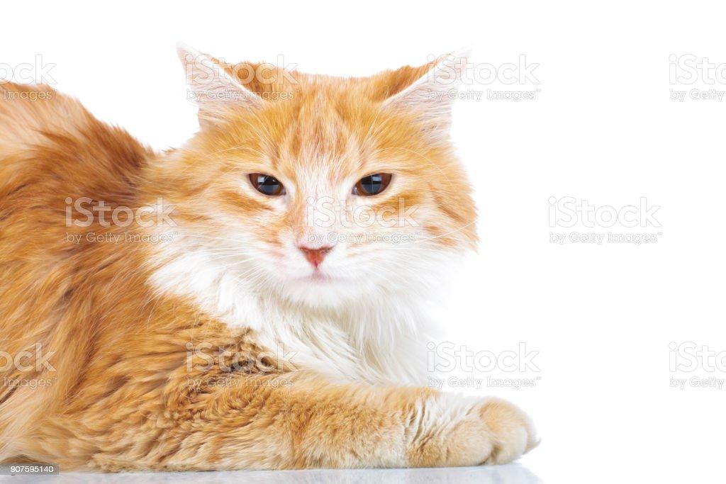 orange cat with supicious look stock photo