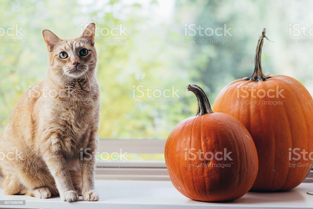 Orange Cat With Two Autumn Pumpkins stock photo