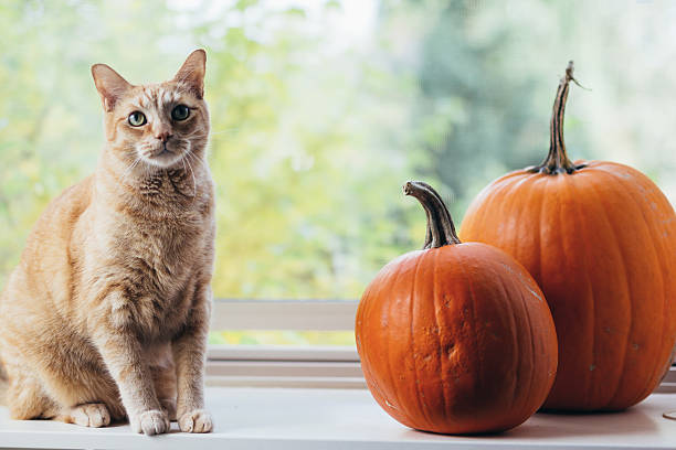 Orange Cat With Two Autumn Pumpkins stock photo