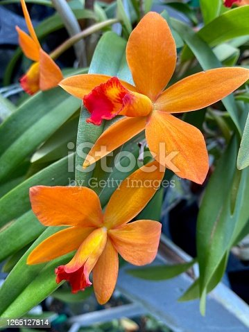 Beautiful vibrant orange Cattleya orchid.