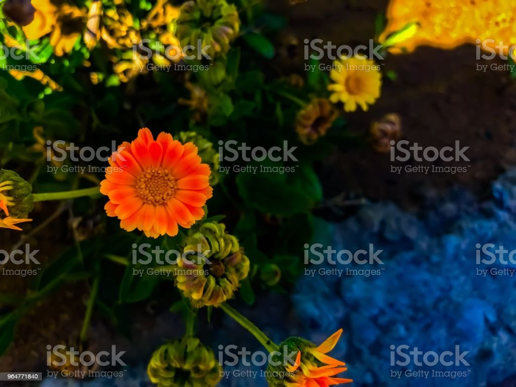 Orange Chamomile royalty-free stock photo