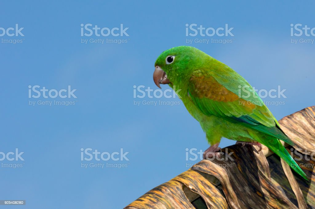 Orange Chinned Parakeet or the Tovi parakeet is sitting on a branch,...