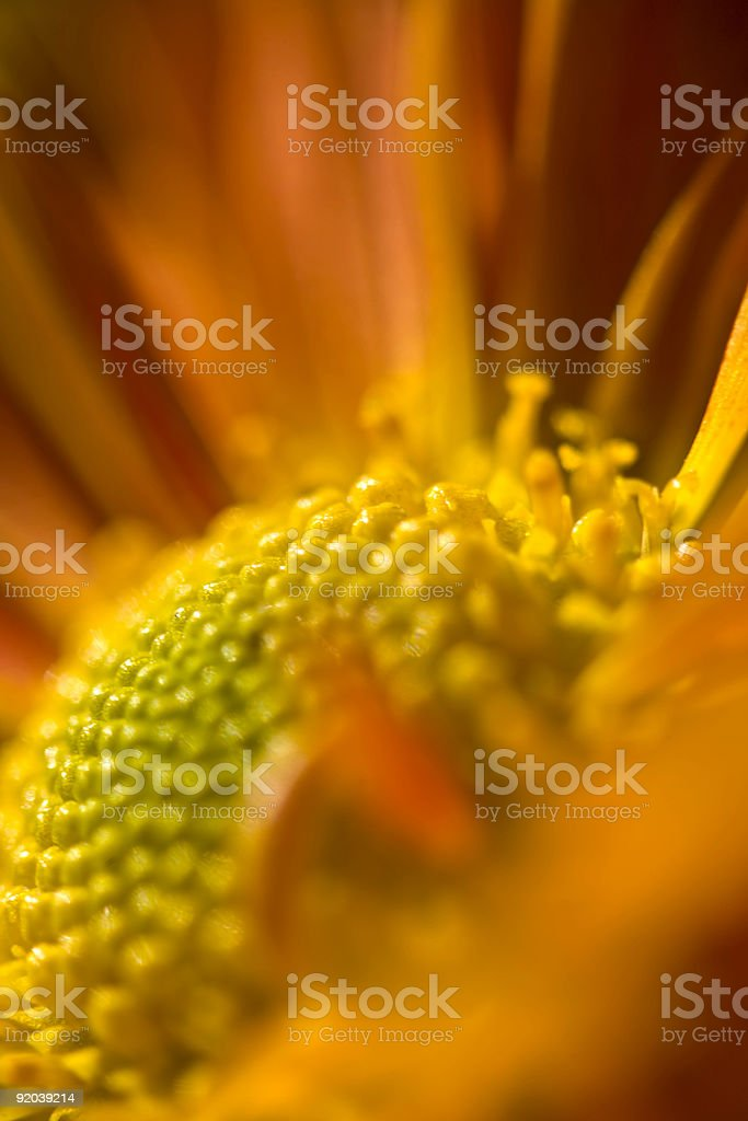Orange Chrysanthemum Abstract royalty-free stock photo