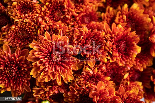 beautiful orange Chrysanthemum flower as background