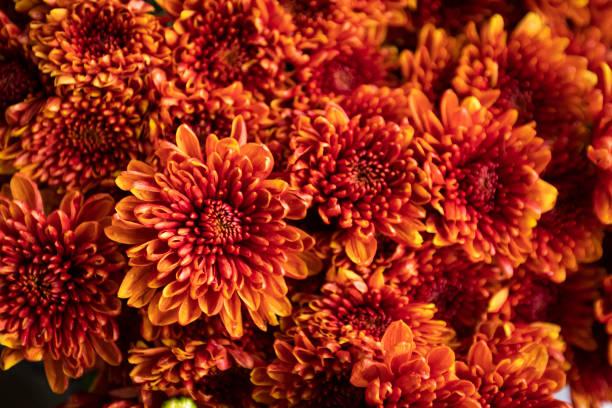 oranje chrysant bloem - chrysant stockfoto's en -beelden