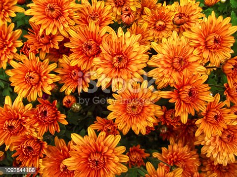 Orange chrysanthemum flowers background