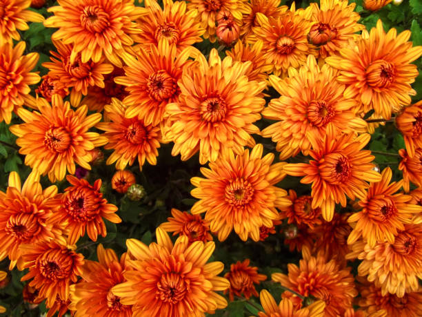 orange chrysanthemum flowers background, natural pattern - flowers stock pictures, royalty-free photos & images