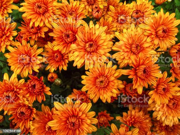 Photo of Orange chrysanthemum flowers background, natural pattern