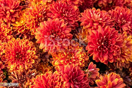 Orange chrysanthemum flowers. Floral pattern, background. Greeting card, blossom nature. Flower wallpaper. Autumn season