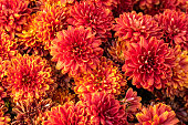 istock Orange chrysanthemum flowers. Floral pattern, background. Greeting card, blossom nature. Flower wallpaper. Autumn season. 1207828890